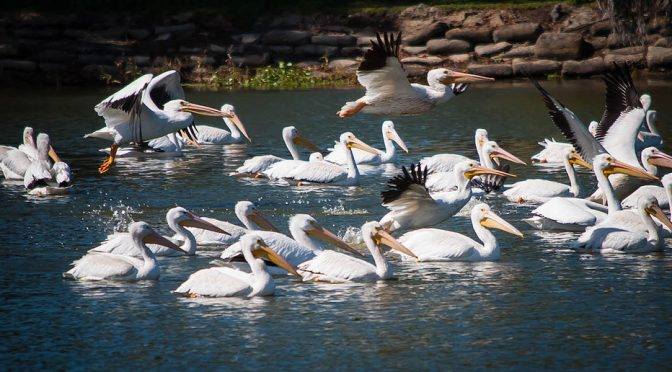 Migrating American White Pelicans